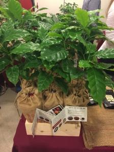 Plant a coffee tree in LA - Photo by Jill Weinlein